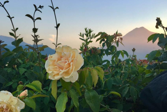 Rose Garden and Volcan de Agua