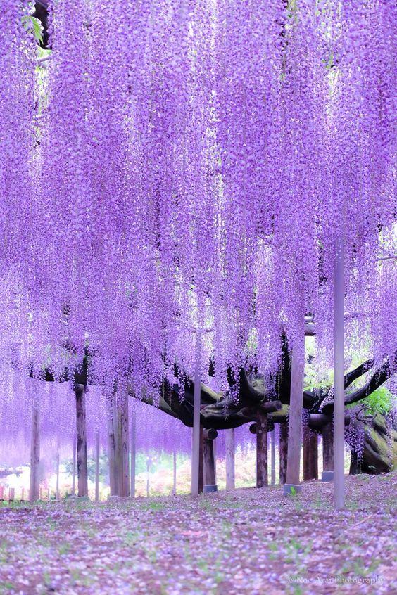 Wisteria Park, Japan
