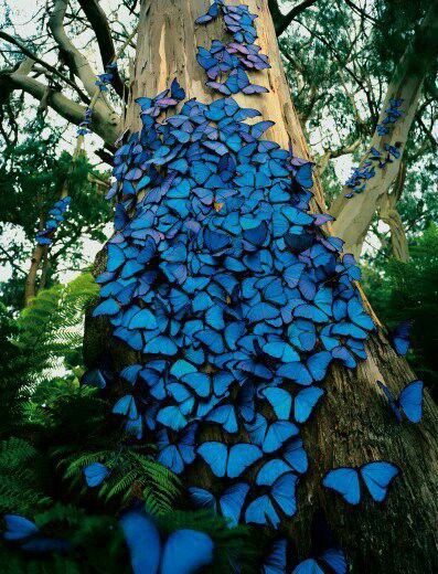 Amazonian Blue Morpho