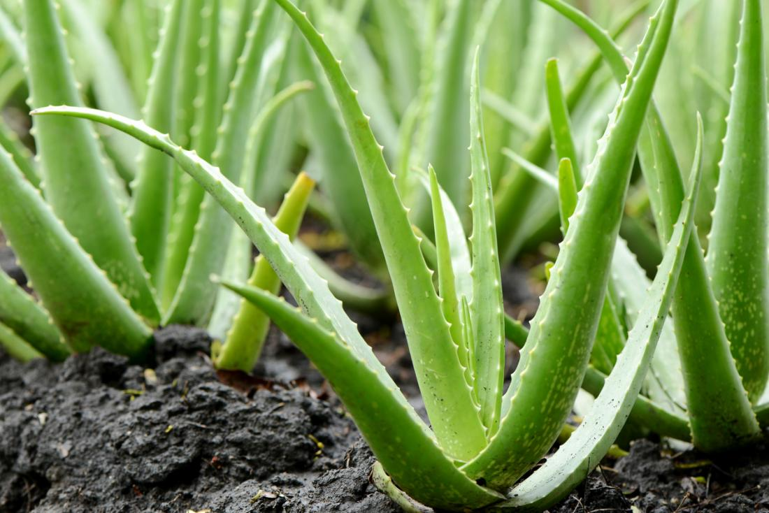 aloe-vera-plants.jpg