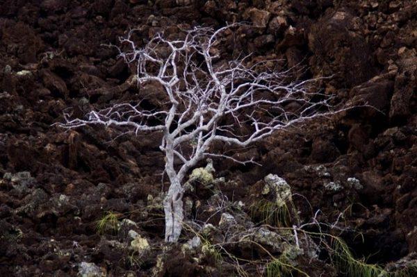 Palo-Santo-Tree-600x399.jpg