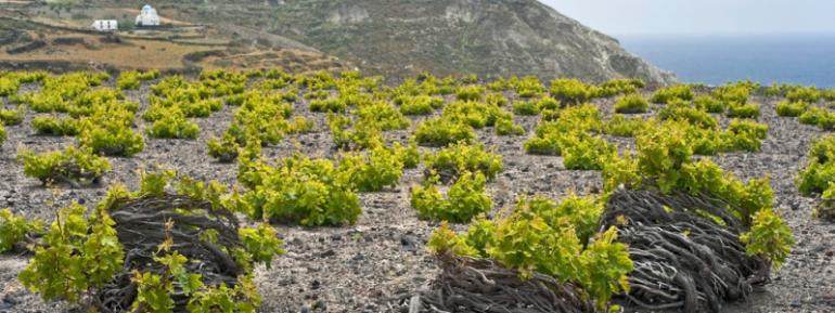 Assyrtiko-Vineyard