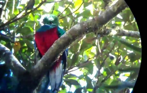 The Rare Resplendent Quetzal, Coban, Guatemala